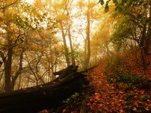 秋天薄雾在事假森林弯曲了山毛榉和槭树与较少叶子在雾下 多雨的日 免版税图库摄影