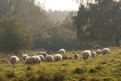 秋天薄雾绵羊 库存照片