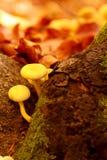 秋天蘑菇充满活力的秋天颜色在森林里 图库摄影