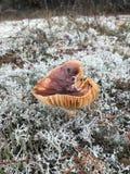 秋天蘑菇在一块沼地增长在森林里 免版税库存照片