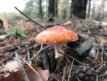 秋天蘑菇在一块沼地增长在森林里 图库摄影
