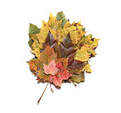 秋天被隔绝的槭树叶子 免版税库存照片