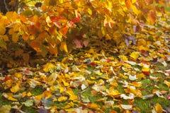 秋天装饰详细资料家庭理想的办公室 偏僻的美丽的秋季树和绿草 免版税图库摄影
