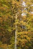 秋天详细资料叶子结构树 库存图片