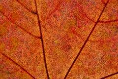 秋天详细资料叶子 图库摄影