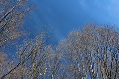 秋天赤裸白杨木和桦树与蓝天 库存照片