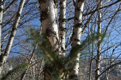 秋天赤裸白杨木和桦树与蓝天 免版税库存图片