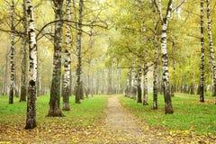 秋天路在10月早晨薄雾桦树树丛里 免版税库存图片
