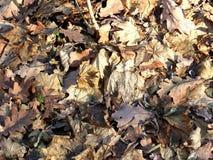 秋天退了色叶子 库存图片