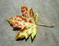 秋天通配叶子的槭树 免版税库存图片