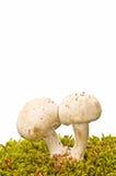 秋天采蘑菇自然 库存照片