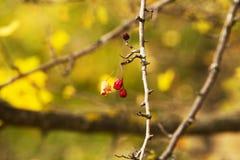秋天野玫瑰果背景 库存图片
