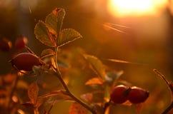 秋天野玫瑰果 免版税库存图片