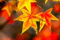 秋天金黄叶子槭树照片红色样式 库存照片