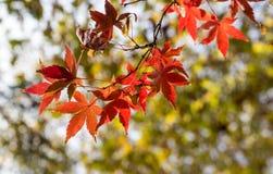 秋天金黄叶子槭树红色 库存图片