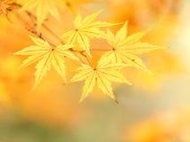 秋天金黄叶子 库存图片