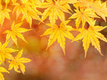 秋天金黄叶子 库存照片