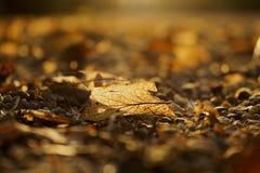 秋天金黄布朗离开在日落关闭  库存照片