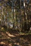 秋天金黄朦胧的森林,背景,您的商标的地方 图库摄影