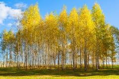 秋天金黄桦树黄色森林背景 免版税图库摄影