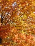 秋天金黄结构树 库存图片