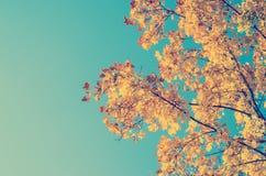 秋天金黄树叶子 免版税图库摄影