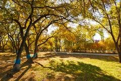 秋天金黄树和阴影 免版税图库摄影