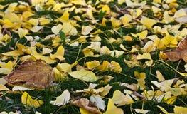 秋天银杏树叶子 免版税库存图片