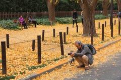 秋天银杏树大道 库存图片