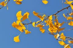 秋天银杏树离开结构树 库存图片