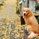 秋天银杏森林,落叶和狗 免版税库存图片