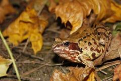 秋天青蛙我草甸森林 库存照片