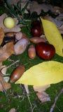秋天静物画用栗子和橡子 库存照片