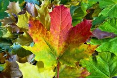 秋天题材:与槭树叶子的美好的色的背景 免版税库存图片