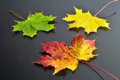 秋天题材:红黄色颜色槭树叶子在背景中与黄色和绿色叶子 免版税库存照片