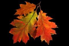 秋天颜色下跌叶子橡木红色 免版税库存照片