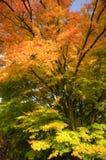秋天颜色光彩的槭树惊人的结构树 库存照片