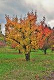 秋天颜色在果树园 免版税图库摄影