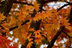 秋天颜色在Kawaguchiko,日本 免版税图库摄影