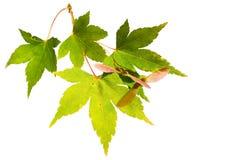 秋天颜色查出日本叶子槭树 库存图片