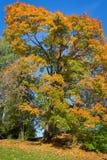 秋天颜色槭树叶子 免版税库存照片