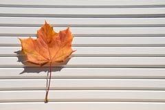 秋天颜色橙黄枫叶的摄影图象在阳光下在被采取的白色木自然本底南英国英国 免版税库存照片
