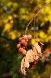 秋天颜色用葡萄 库存图片