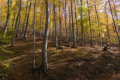 秋天颜色的山毛榉森林 库存照片