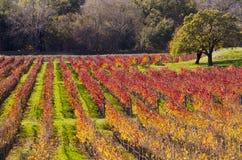 秋天颜色的纳帕谷葡萄园 免版税库存图片