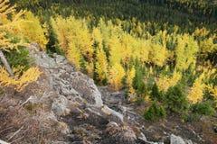 秋天颜色的落叶松属树 免版税库存照片