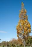 秋天颜色金黄显示的结构树 免版税图库摄影