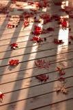 秋天颜色 在灰色木背景的红槭叶子 selec 免版税库存图片