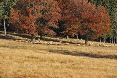 秋天风景和绵羊 图库摄影