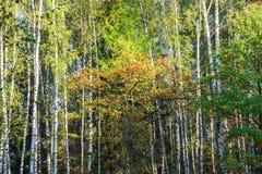 秋天风景在莫斯科附近的混杂的森林里 库存照片